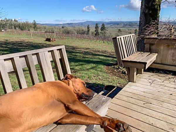 Carlton Vineyard Wines' Walker the vineyard dog